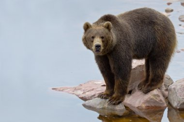 Brown bear close to a river