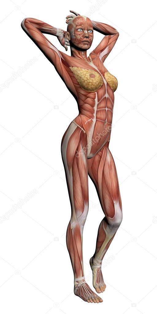 anatomía humana - músculos femeninos — Fotos de Stock © vitanovski ...