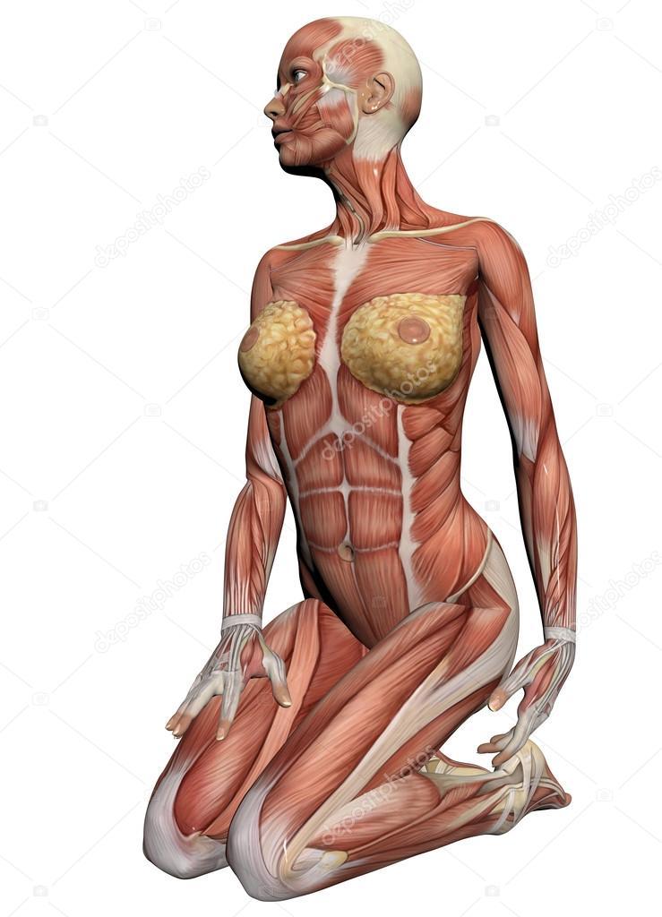 anatomía humana - músculos femeninos — Foto de stock © vitanovski ...