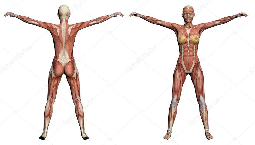 Human Anatomy - Female Muscles — Stock Photo © vitanovski #25889479