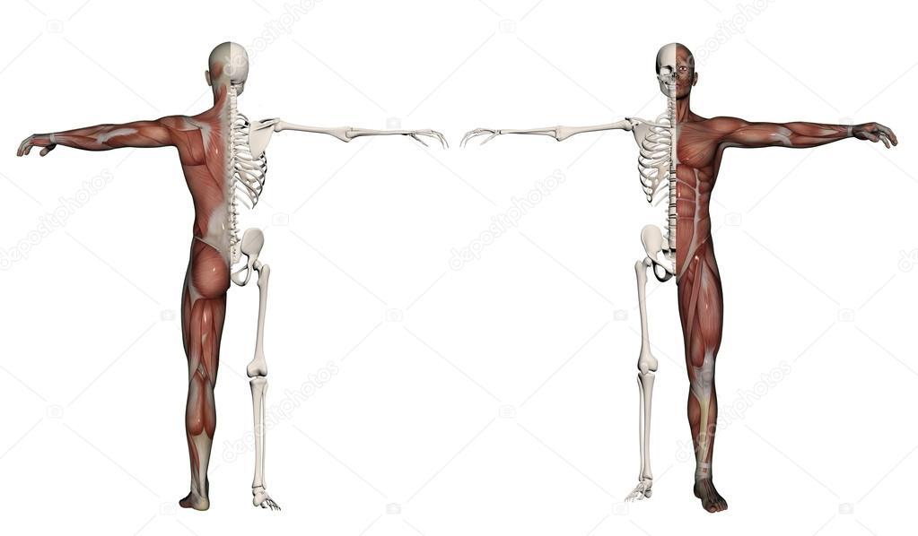 cuerpo humano de un hombre con músculos y esqueleto — Fotos de Stock ...
