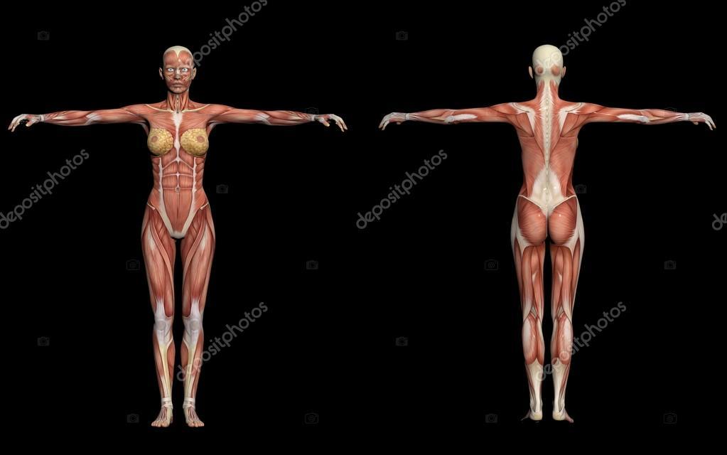 anatomía humana-músculos femeninos — Fotos de Stock © vitanovski ...