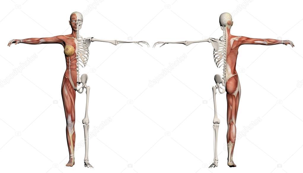 cuerpo humano de una mujer con músculos y esqueleto — Foto de stock ...