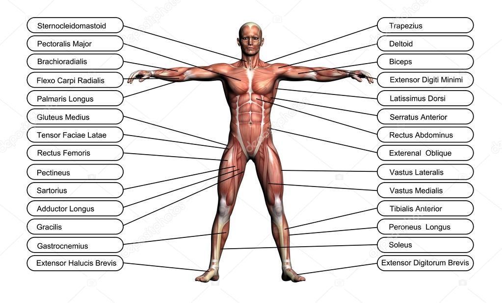 concepto de alta resolución o conceptual 3d Anatomía humana — Fotos ...