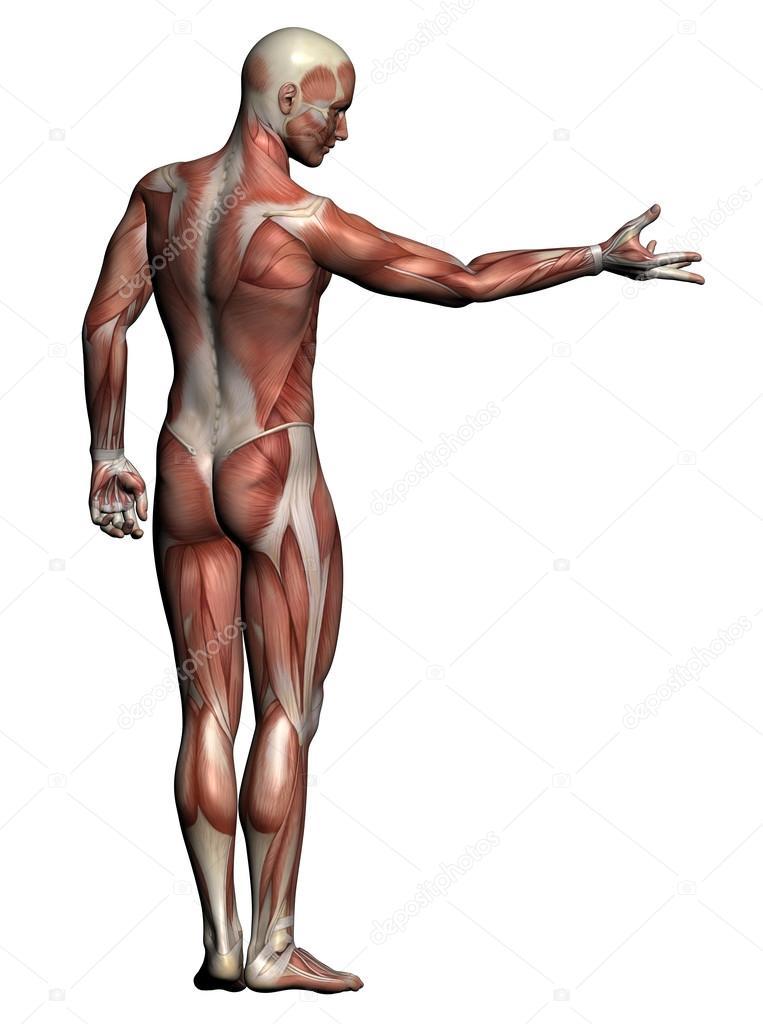 Human Anatomy Male Muscles Stock Photo Vitanovski 26211953