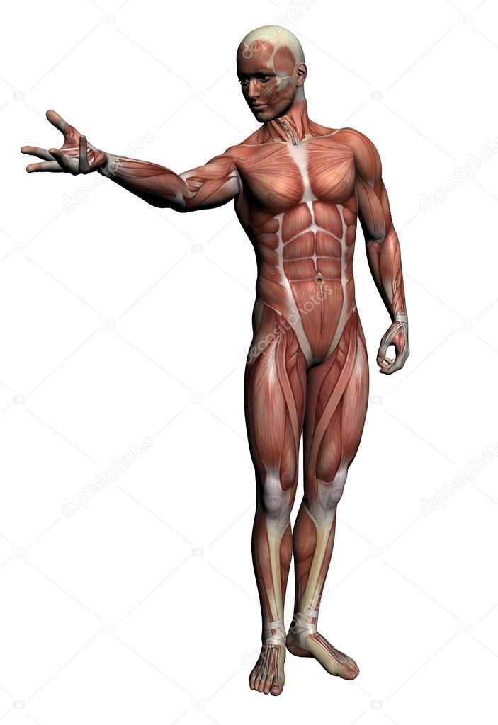 Human Anatomy Male Muscles Stock Photo Vitanovski 26211965
