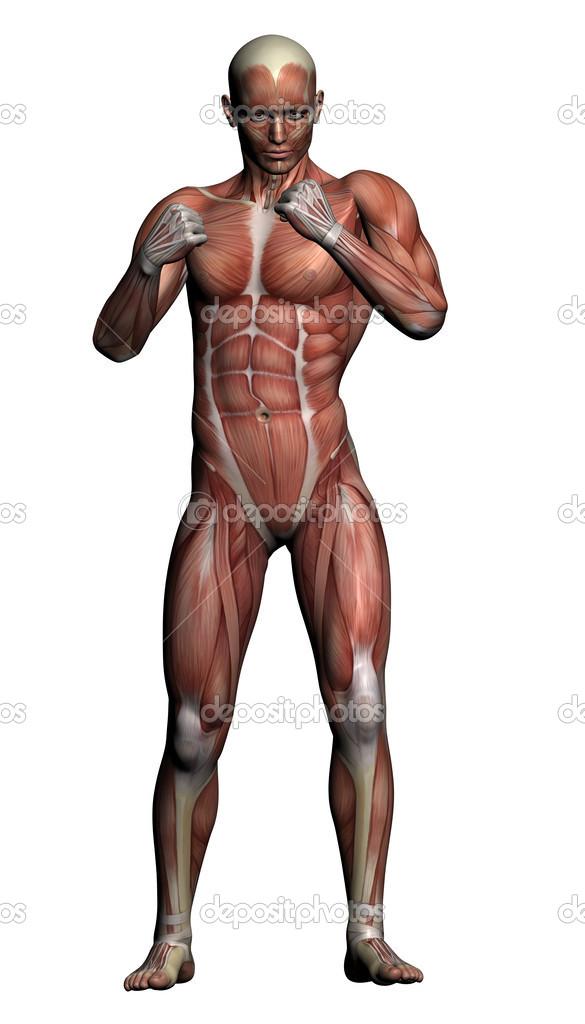 Human Anatomy Male Muscles Stock Photo Vitanovski 26822167