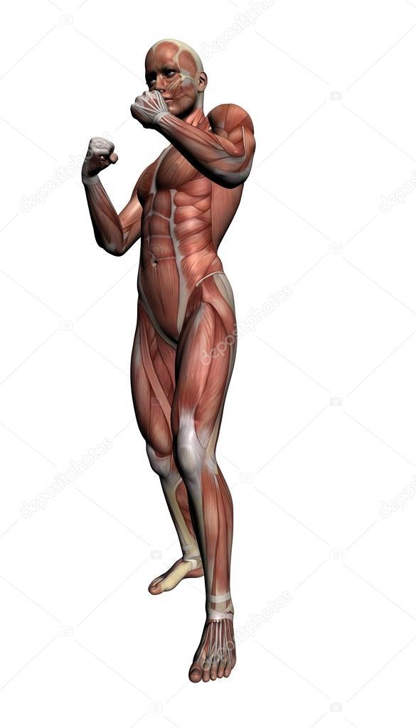anatomía humana - músculos masculinos — Fotos de Stock © vitanovski ...