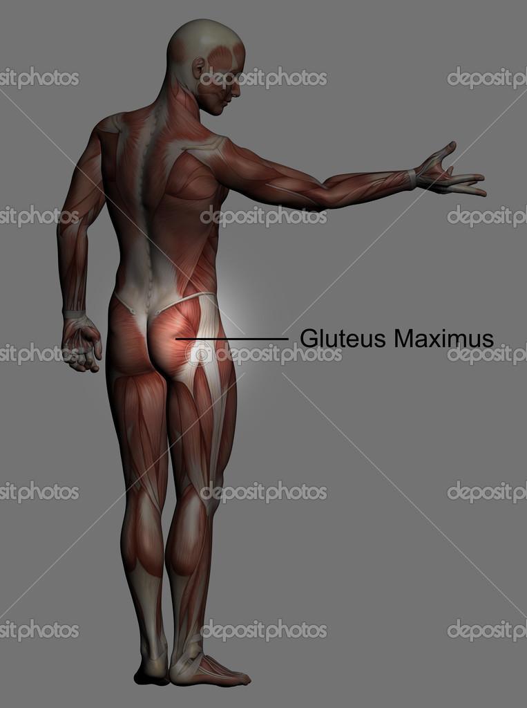 anatomía humana - músculos masculinos — Foto de stock © vitanovski ...