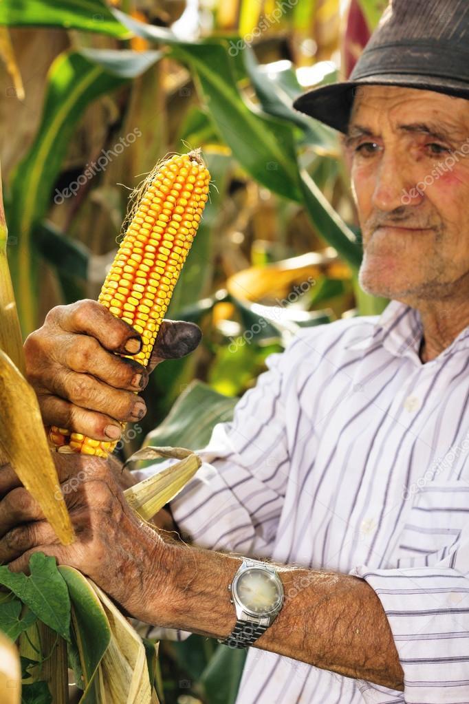 old man harvesting corn