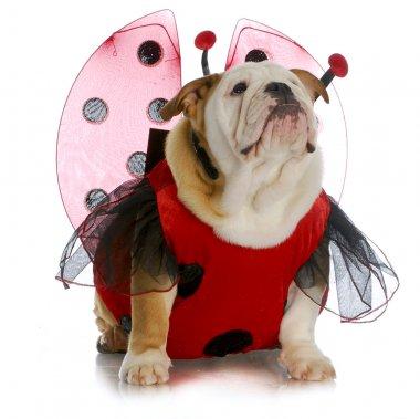 bulldog ladybug