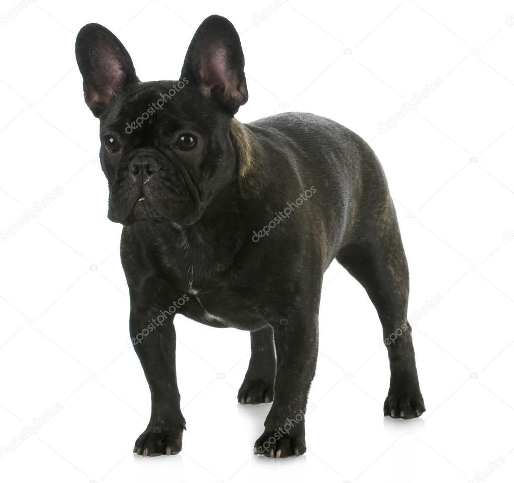 bulldog fransk