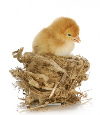 Chick in a nest isolated on white background stock vector