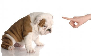 Scolding puppy