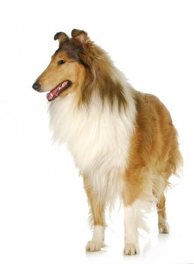 rough collie standing