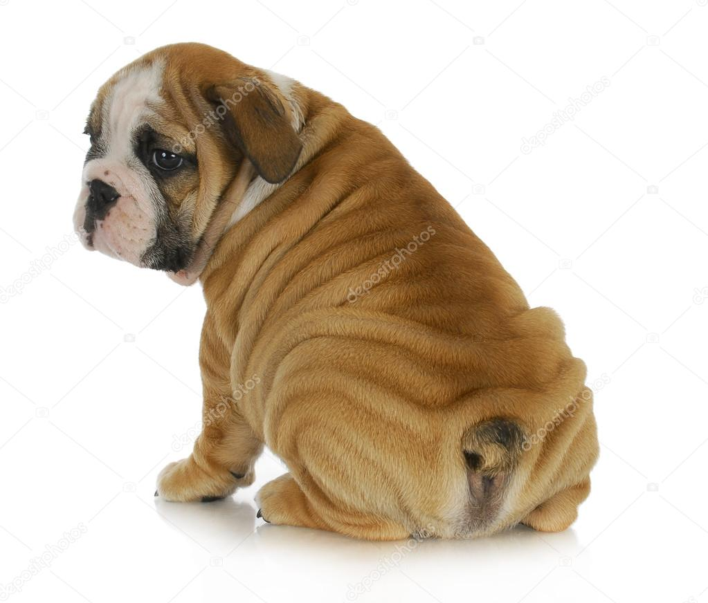 wrinkly bulldog wrinkly puppy stock photo 169 willeecole 18435909 4504