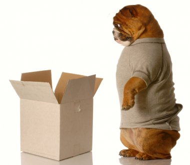 english bulldog standing looking down into cardboard box