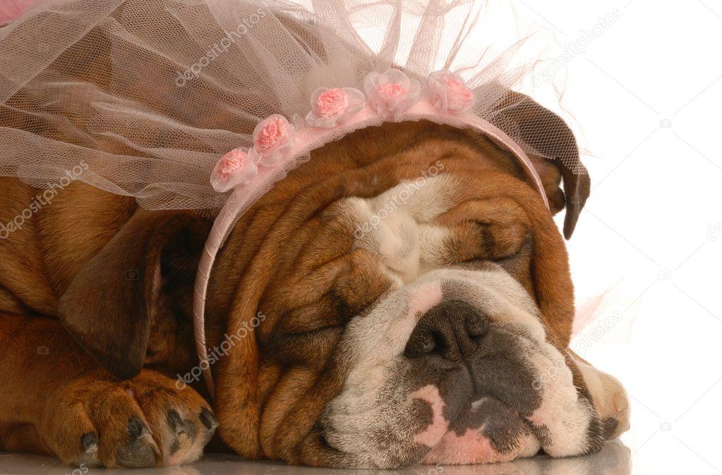Engels Bulldog Dragen Roze Sluier Stockfoto Willeecole