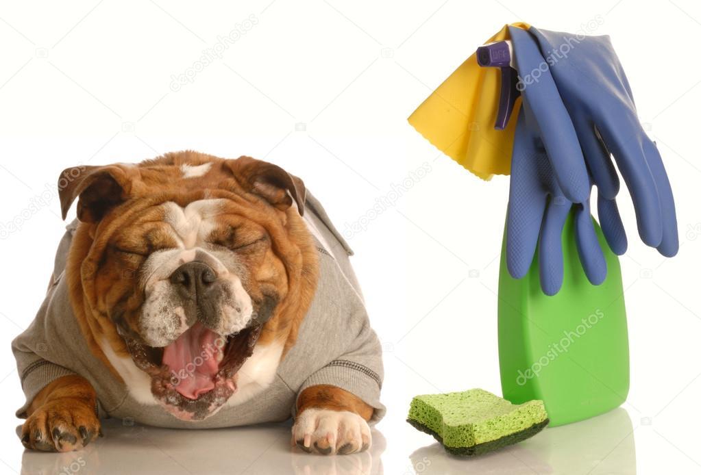 Engels Bulldog Stockfoto Willeecole 24073873