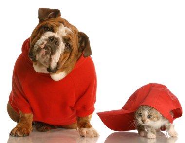 english bulldog in red sweater and kitten