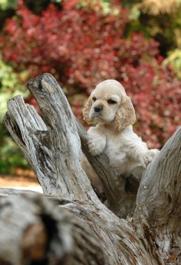 american cocker spaniel puppy standing an a piece of woo