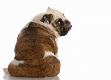 english bulldog sitting with backside