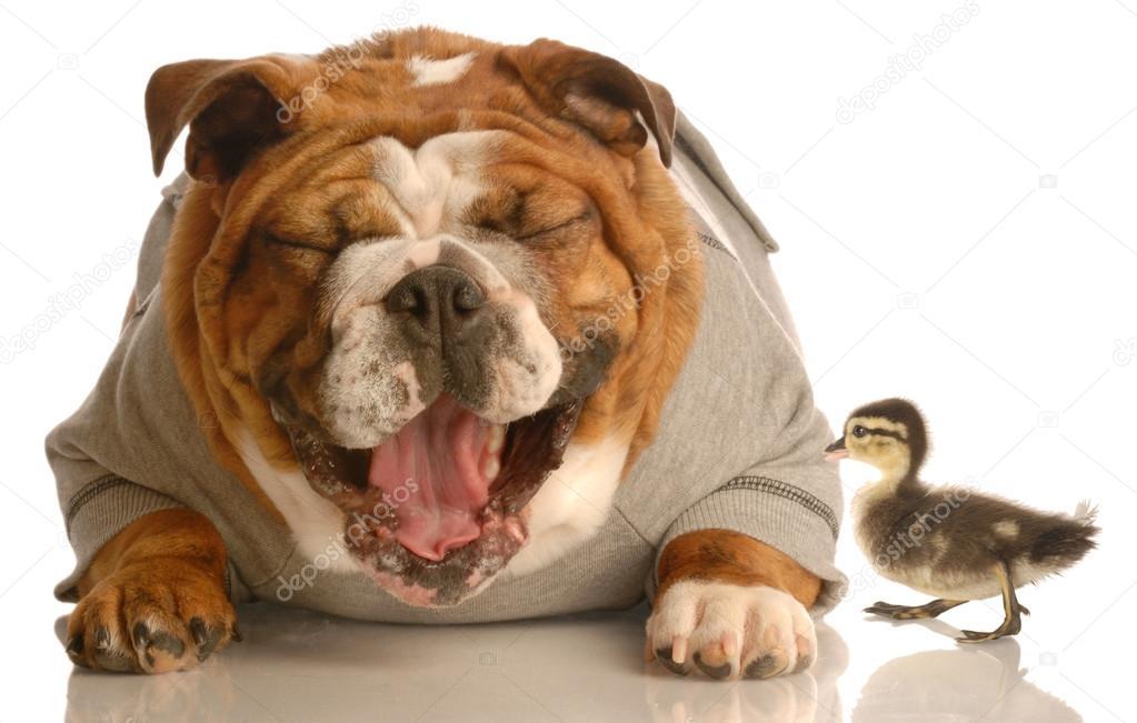 Super bulldog anglais, riant de canard colvert bébé — Photo #24134079 LX63