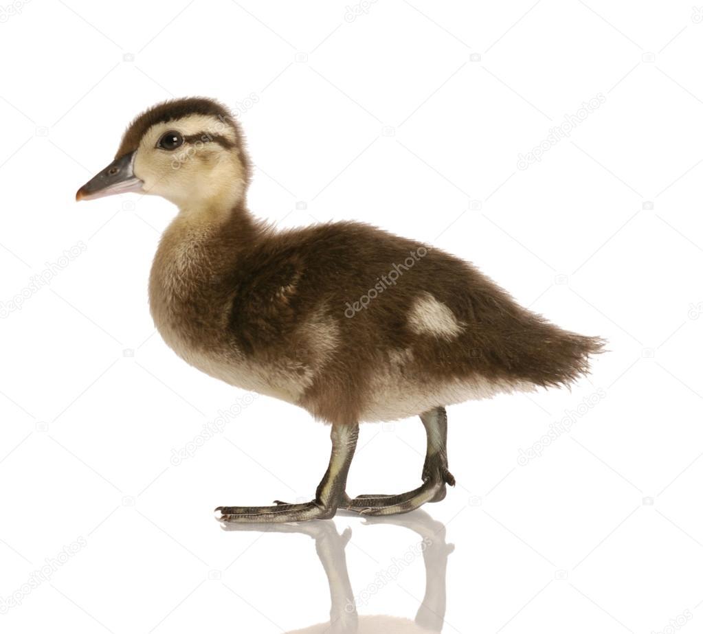 baby mallard duck — Stock Photo © willeecole #24135089