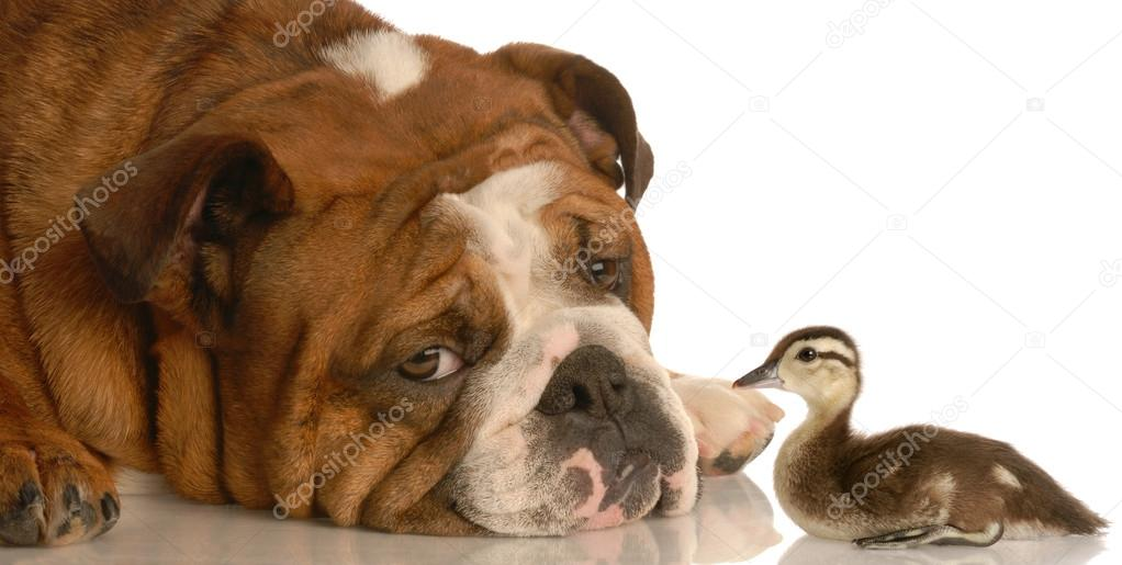 Super bulldog anglais avec canard colvert bébé — Photo #24135835 LX63