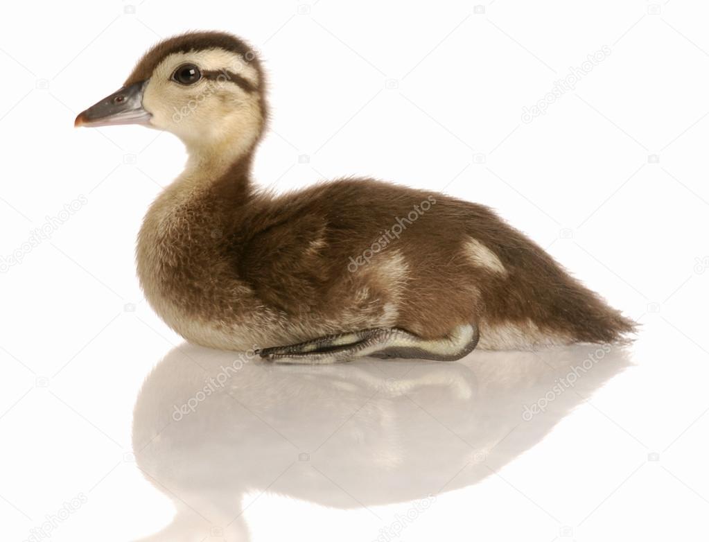 baby mallard duck sitting — Stock Photo © willeecole #24136053
