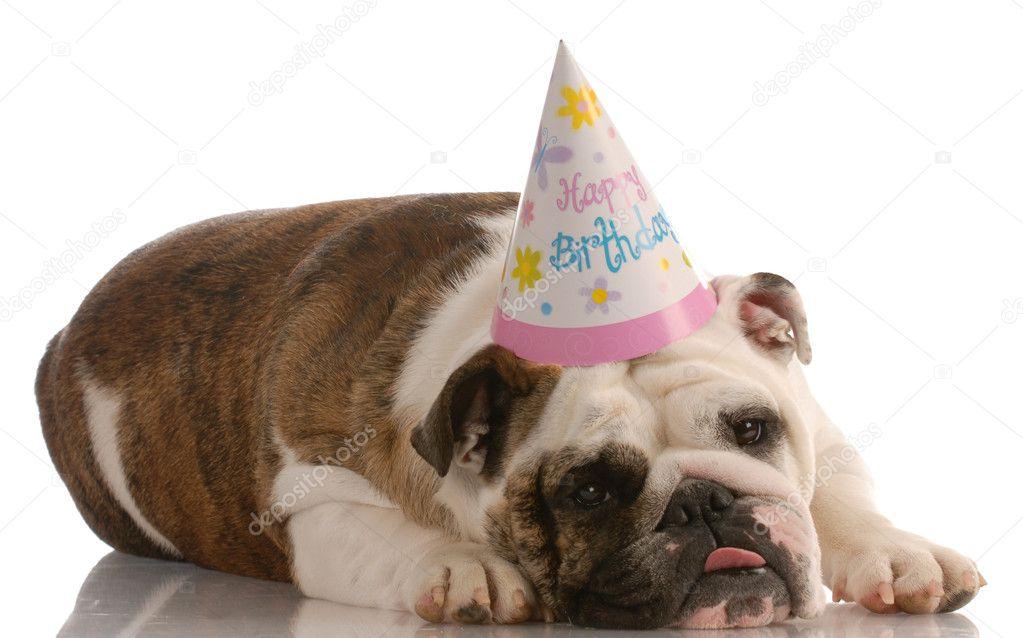 födelsedag på engelska bedårande engelska bulldog födelsedag hatt — Stockfotografi  födelsedag på engelska