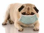 Fotografie krank oder ansteckenden Mops mit einer medizinischen-Maske