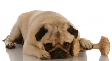 pug laying down beside dumbbell