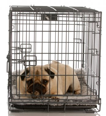 pug in a wire crate isolated