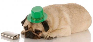 pug dressed up for St. Patricks Day