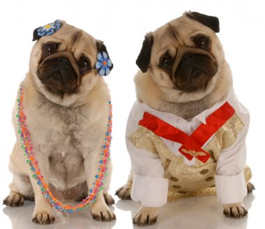 adorable pugs dressed up as a couple