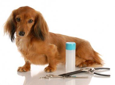 miniature long haired dachshund sitting beside grooming supplies