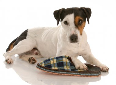 smooth coat tri-color jack russel terrier with favorite slipper