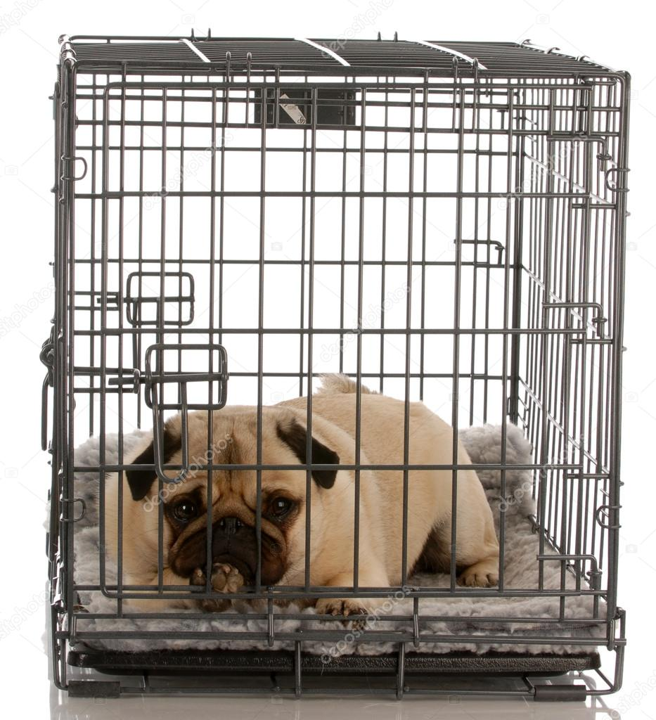 pug in a wire crate isolated — Stock Photo © willeecole #24175377