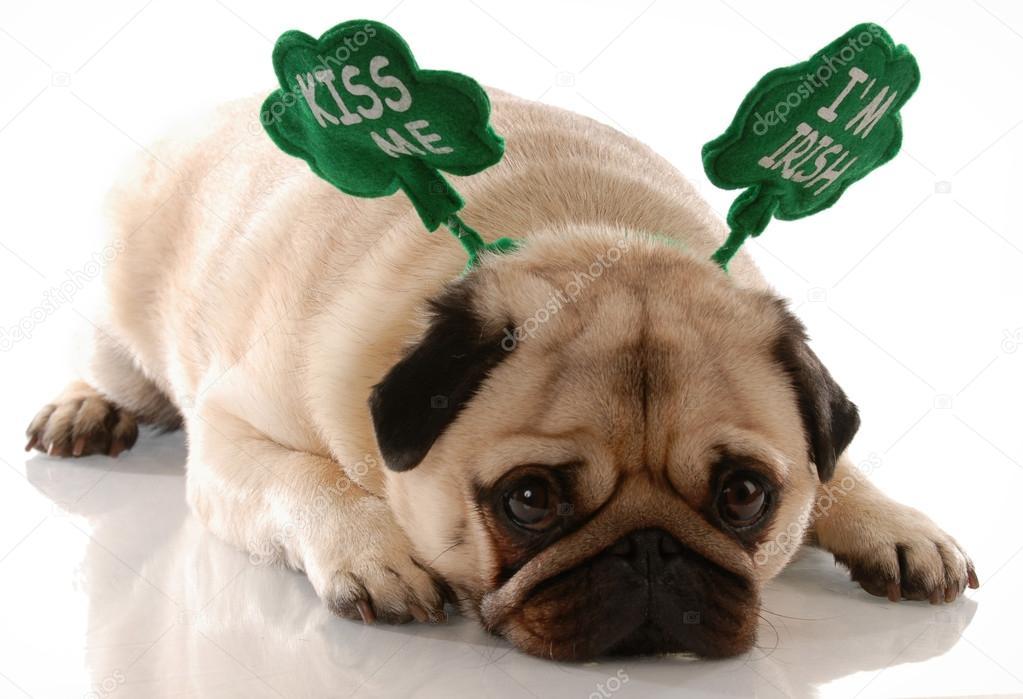 St Patricks Day Pug Wearing Kiss Me Im Irish Headband Stock