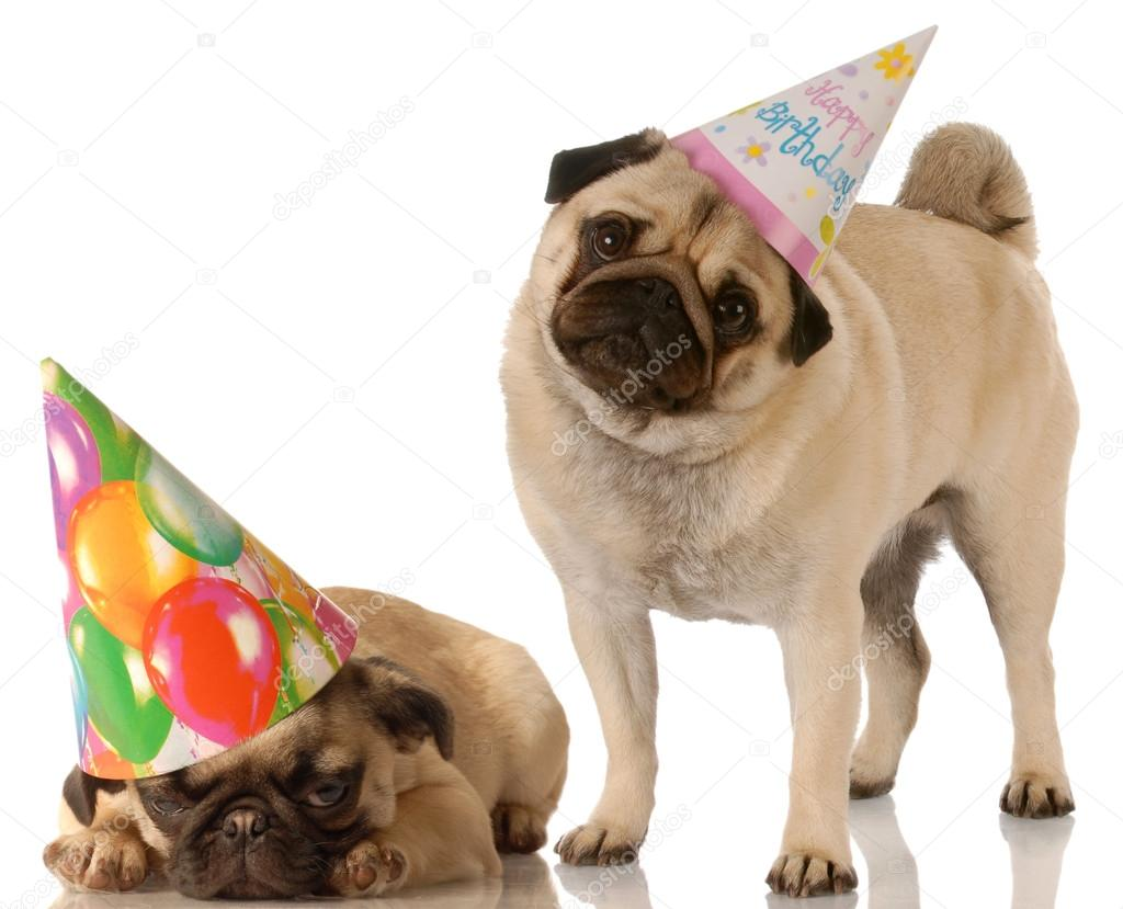 Zwei Mops Hunde Tragen Hubsch Geburtstag Hute Stockfoto