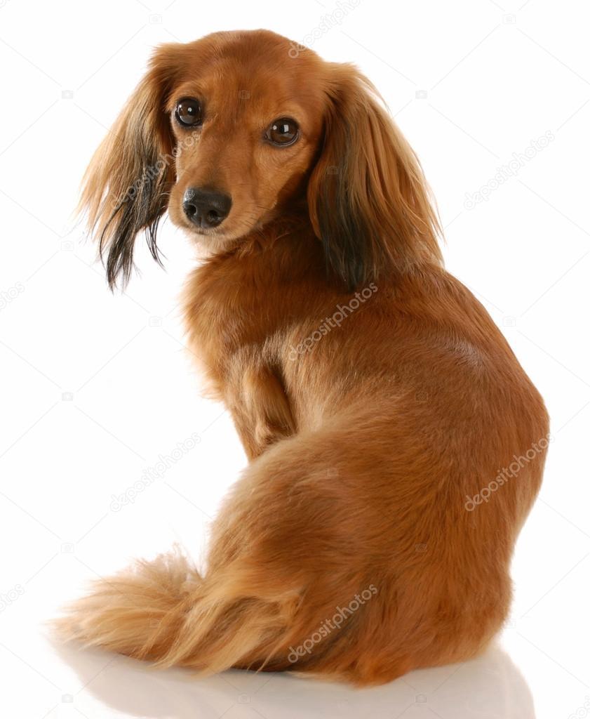 Dachshund de pelo largo con la espalda al espectador mirando a cámara–  imagen de stock 64542ec36e6d