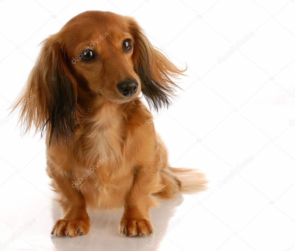 Dachshund de pelo largo miniatura sentado sobre fondo blanco — Foto de  willeecole e091bdd528a9