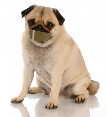 pug with tape on mouth