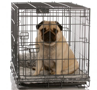 pug sitting in a wire dog crate looking out a viewer