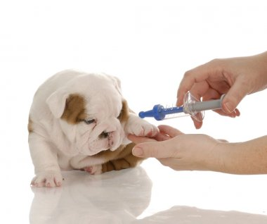 english bulldog puppy with toy needle