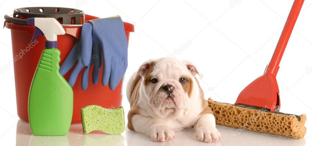 Cucciolo Bulldog Inglese Posa Accanto Al Mocio E Secchio Di Pulizia