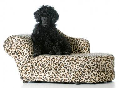 puppy sitting on a couch