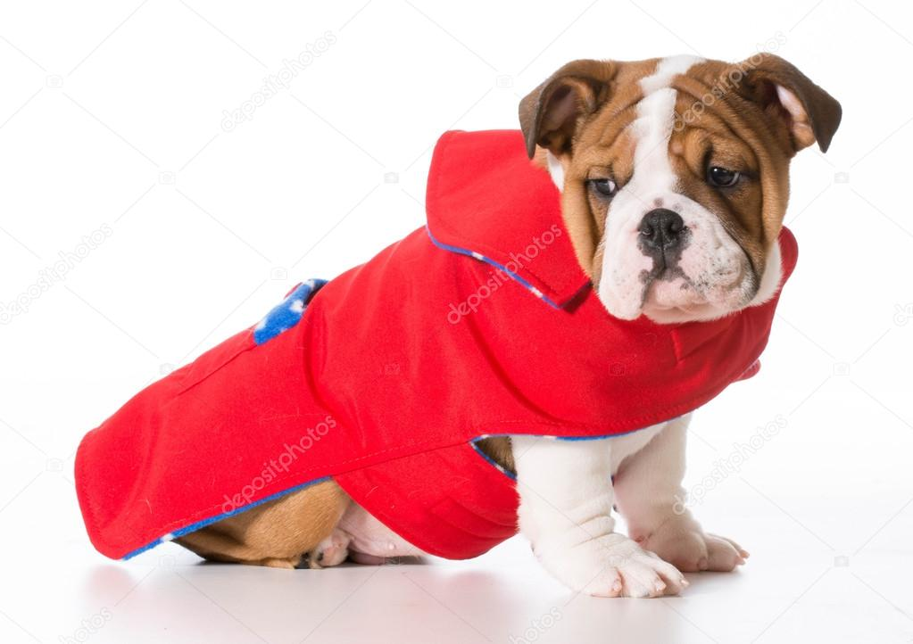 Abrigo bulldog ingles