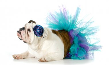 Female bulldog wearing a tutu isolated on white background stock vector